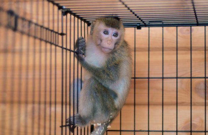 23-летний парень пытался провезти в Саратов редких обезьян