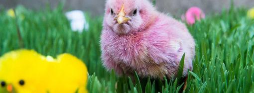 Микоплазмоз птиц