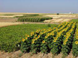Севообороты – основа системы земледелия
