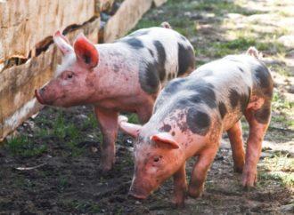 Управление Россельхознадзора по Саратовской области информирует о регистрации на территории Калининского района африканской чумы свиней