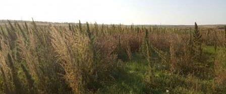 Управление Россельхознадзора по Саратовской области выявило факт зарастания коноплей